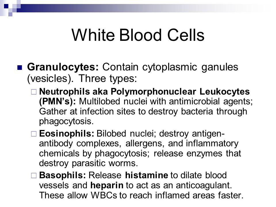 White Blood Cells Granulocytes: Contain cytoplasmic ganules (vesicles). Three types: Neutrophils aka Polymorphonuclear Leukocytes (PMNs): Multilobed n
