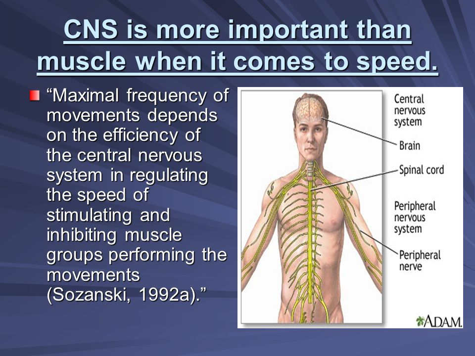 CNS is more important than muscle when it comes to speed. Maximal frequency of movements depends on the efficiency of the central nervous system in re