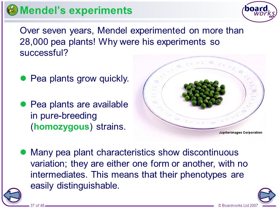 37 of 48© Boardworks Ltd 2007 Mendels experiments Over seven years, Mendel experimented on more than 28,000 pea plants! Why were his experiments so su