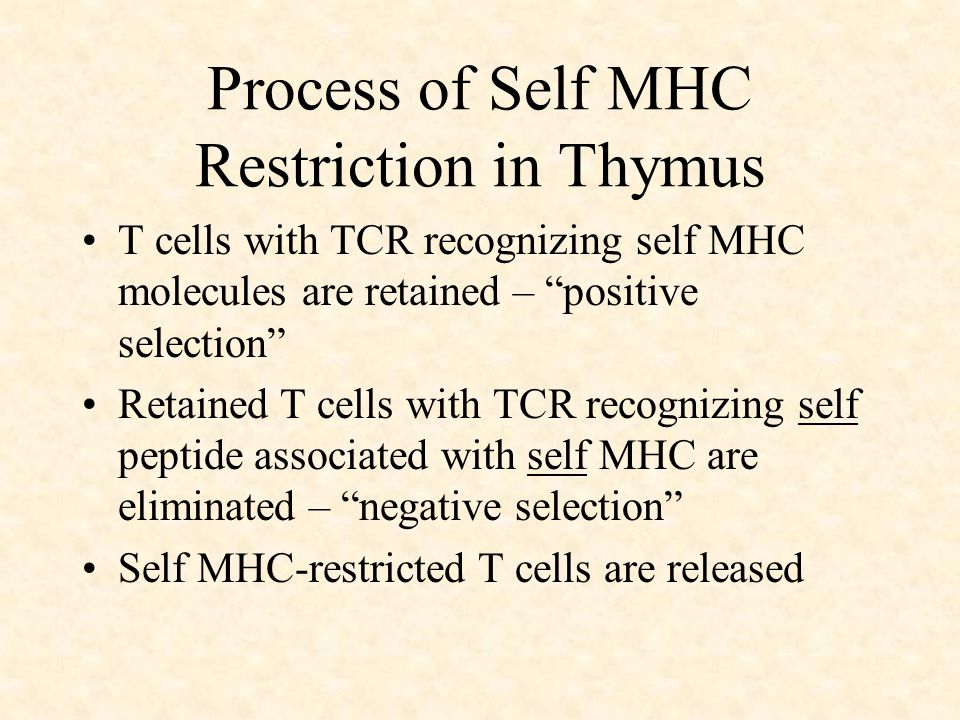 Process of Self MHC Restriction in Thymus T cells with TCR recognizing self MHC molecules are retained – positive selection Retained T cells with TCR