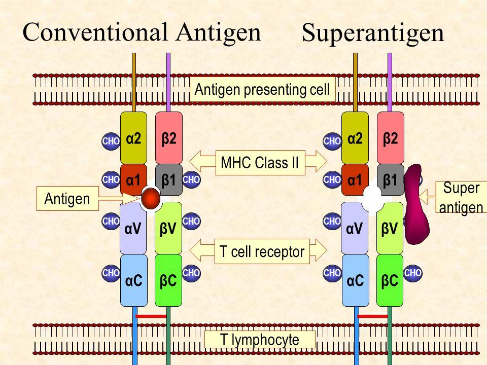 Conventional Antigen αCβC CHO βVαV α2β2 β1α1 CHO αCβC CHO βVαV α2β2 β1α1 CHO MHC Class II T cell receptor Antigen Super antigen T lymphocyte Antigen p