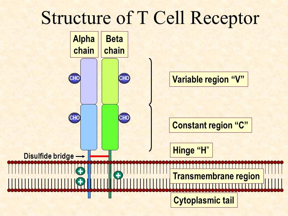 Structure of T Cell Receptor CHO Variable region V Constant region C Hinge H Alpha chain Beta chain Disulfide bridge Transmembrane region Cytoplasmic