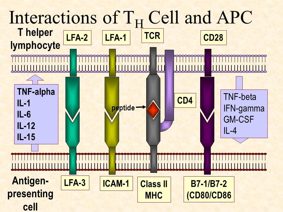 Interactions of T H Cell and APC LFA-3 LFA-2LFA-1 TCR CD4 ICAM-1 Class II MHC B7-1/B7-2 (CD80/CD86 CD28 TNF-alpha IL-1 IL-6 IL-12 IL-15 TNF-beta IFN-g