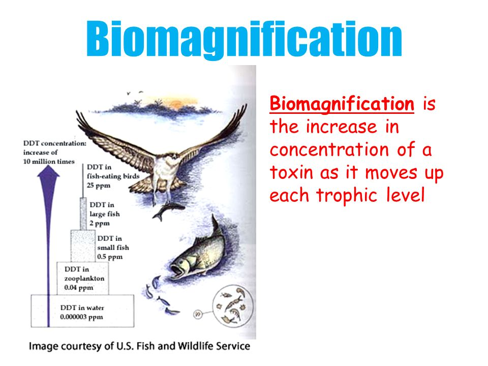 Biomagnification Biomagnification is the increase in concentration of a toxin as it moves up each trophic level