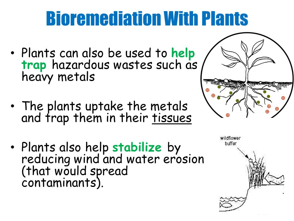 Bioremediation With Plants Plants can also be used to help trap hazardous wastes such as heavy metals The plants uptake the metals and trap them in their tissues Plants also help stabilize by reducing wind and water erosion (that would spread contaminants).