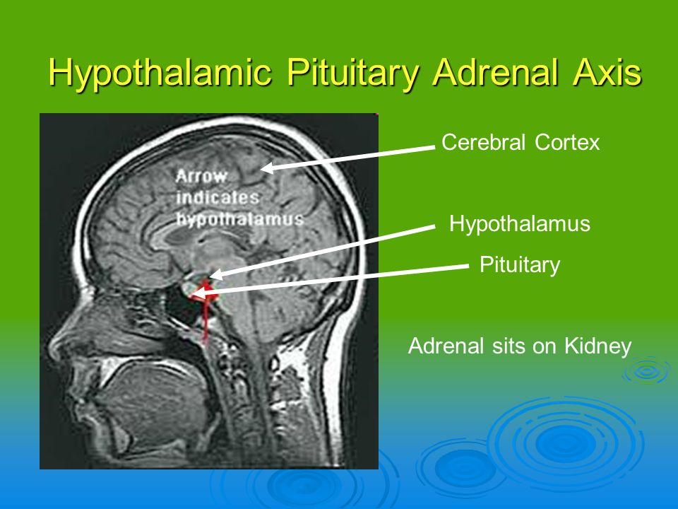 Hypothalamic Pituitary Adrenal Axis Cerebral Cortex Hypothalamus Pituitary Adrenal sits on Kidney