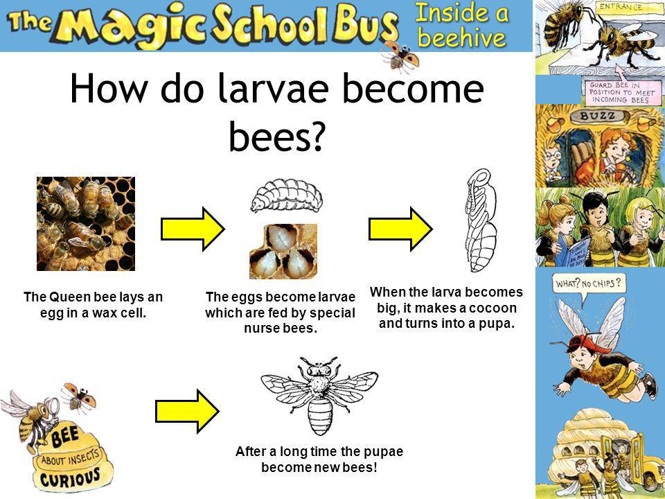 How do larvae become bees? The Queen bee lays an egg in a wax cell. The eggs become larvae which are fed by special nurse bees. When the larva becomes