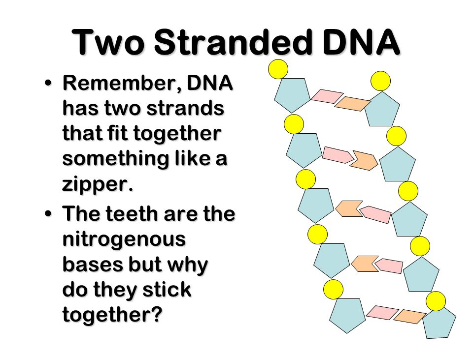 Four nitrogenous bases Cytosine C Cytosine C Thymine T Thymine T Adenine A Adenine A Guanine G Guanine G DNA has four different bases:
