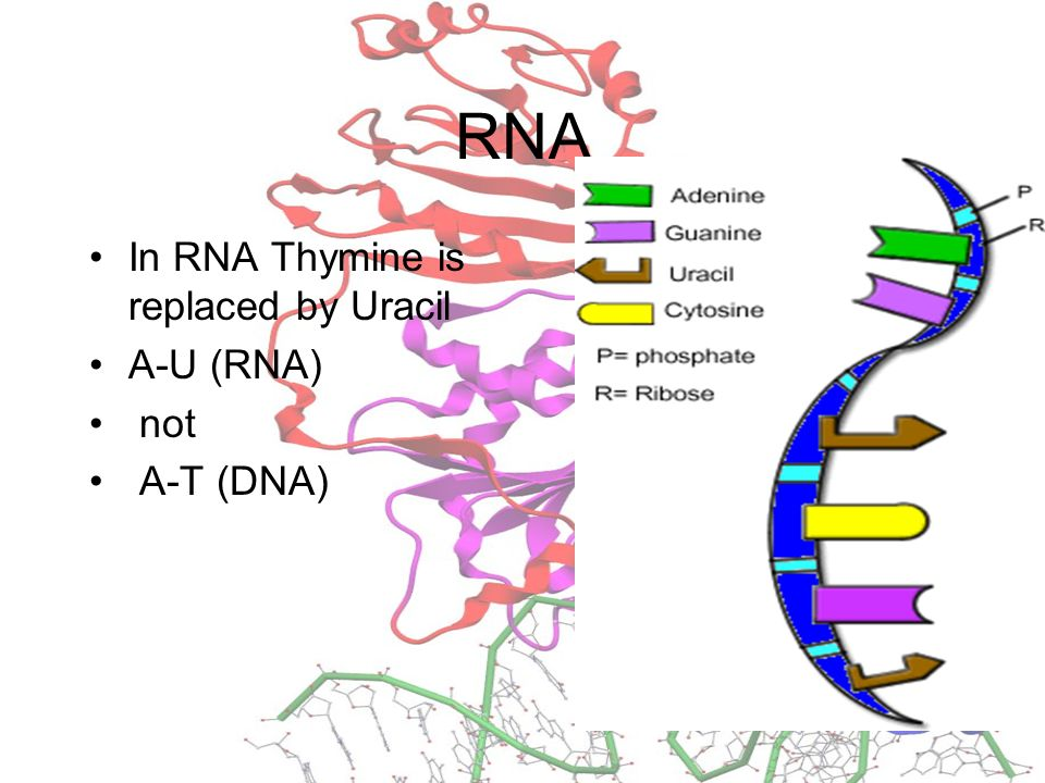 Whats the main difference between DNA and RNA