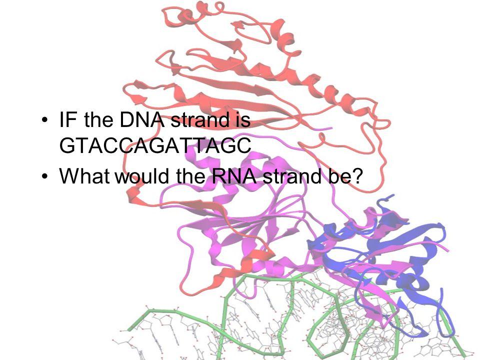 RNA In RNA Thymine is replaced by Uracil A-U (RNA) not A-T (DNA)