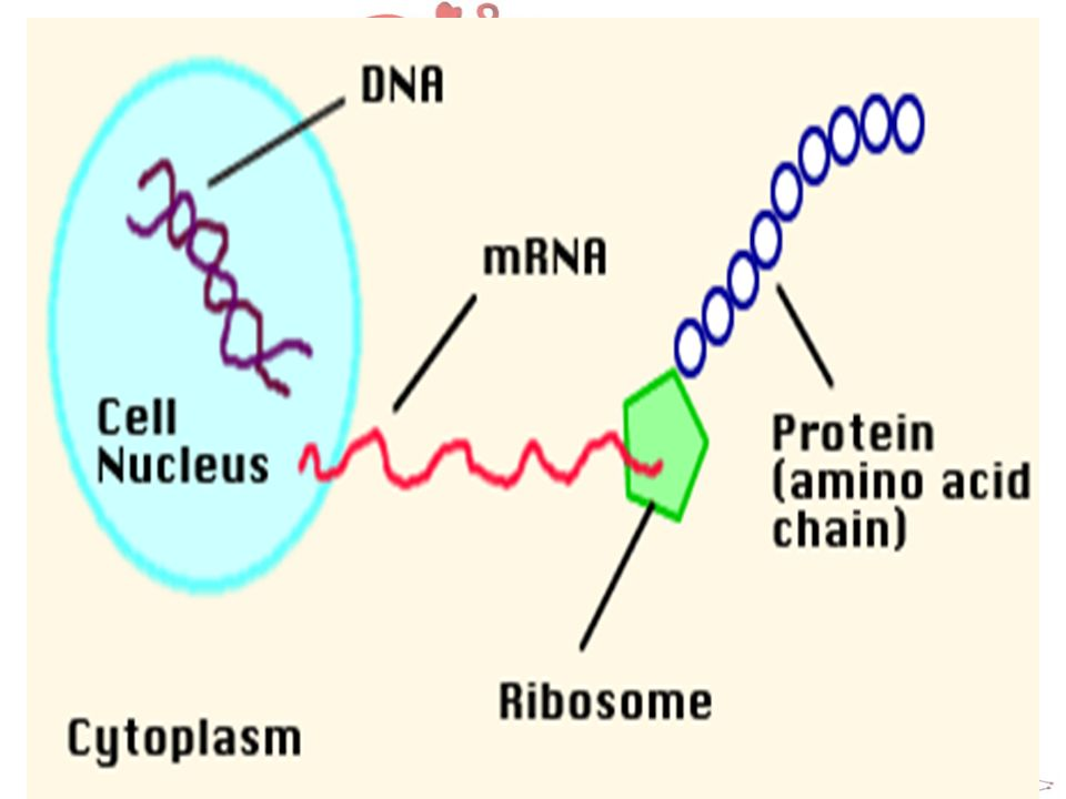 Transcription DNA is protected inside the nucleus. mRNA carries the message of DNA into the cytoplasm to the ribosome's
