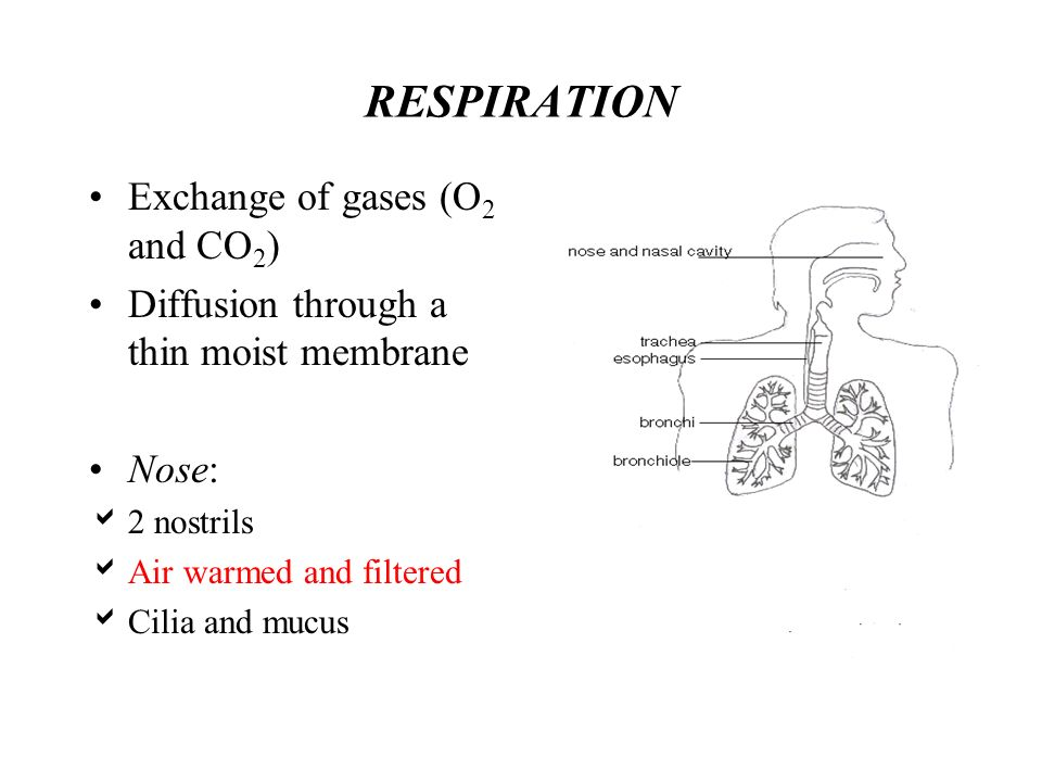 RESPIRATION Exchange of gases (O 2 and CO 2 ) Diffusion through a thin moist membrane Nose: 2 nostrils Air warmed and filtered Cilia and mucus