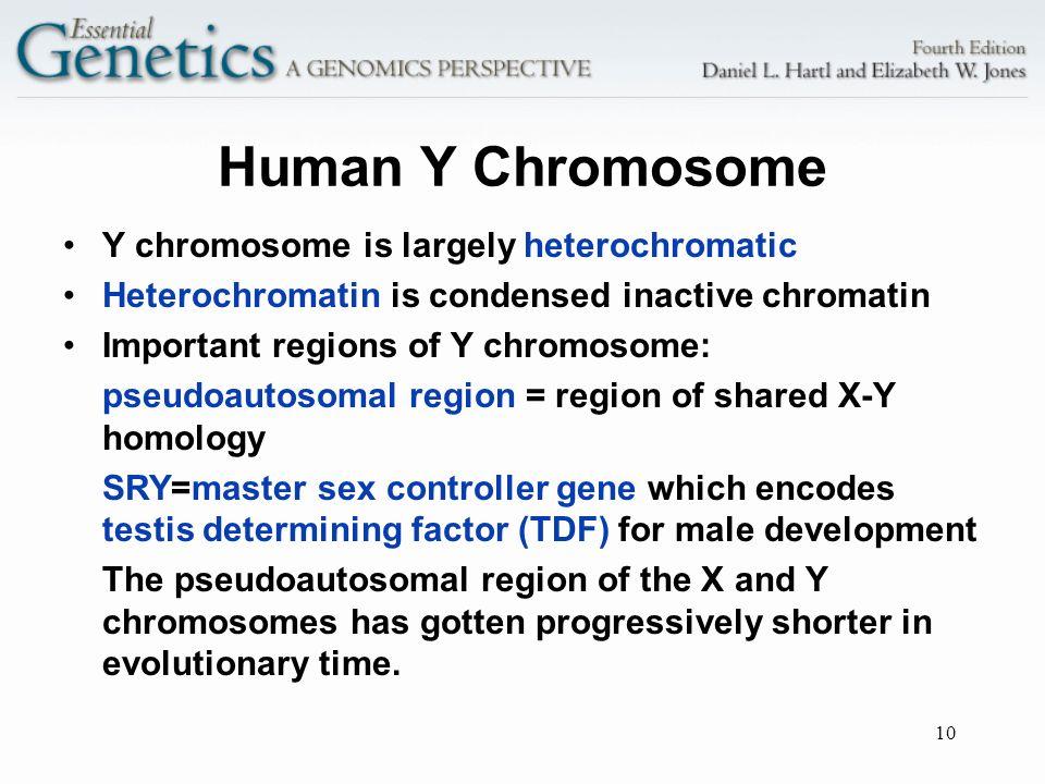 10 Human Y Chromosome Y chromosome is largely heterochromatic Heterochromatin is condensed inactive chromatin Important regions of Y chromosome: pseud