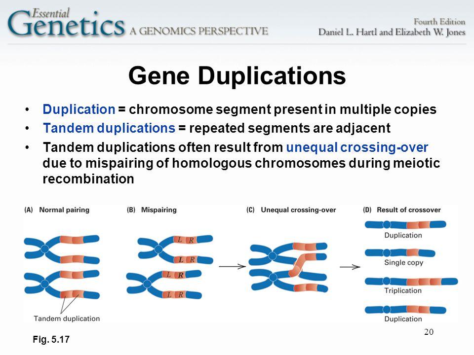 20 Gene Duplications Duplication = chromosome segment present in multiple copies Tandem duplications = repeated segments are adjacent Tandem duplicati