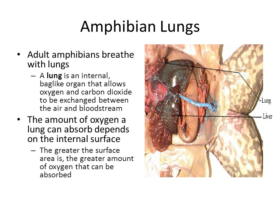 Amphibian Lungs Adult amphibians breathe with lungs – A lung is an internal, baglike organ that allows oxygen and carbon dioxide to be exchanged betwe