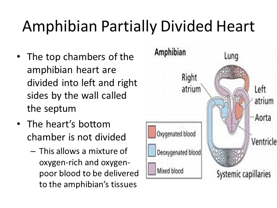 Amphibian Partially Divided Heart The top chambers of the amphibian heart are divided into left and right sides by the wall called the septum The hear