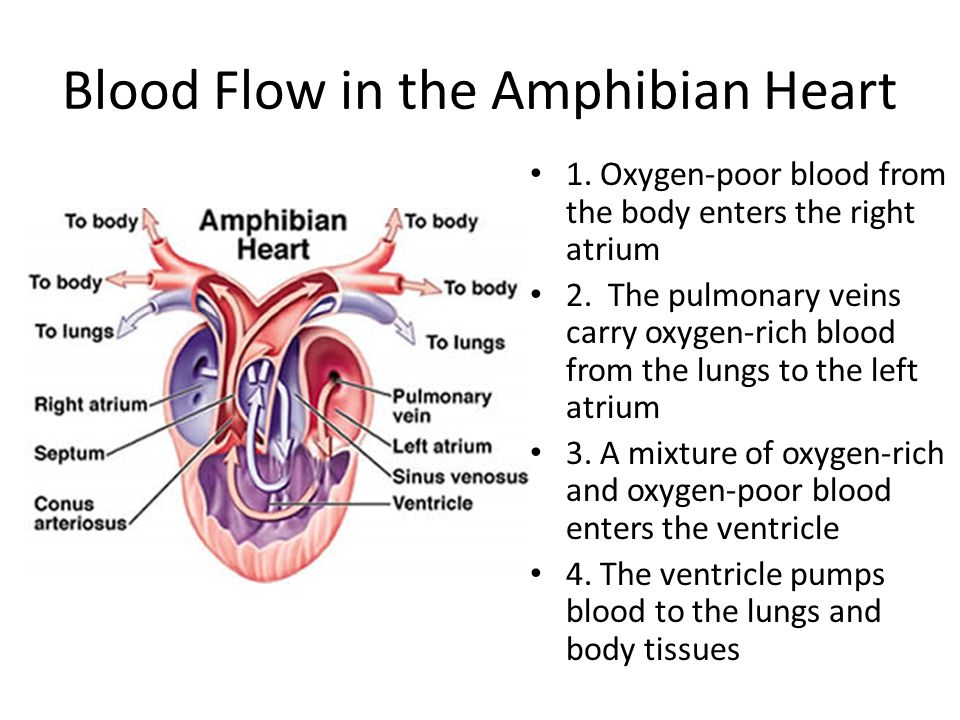 Blood Flow in the Amphibian Heart 1. Oxygen-poor blood from the body enters the right atrium 2. The pulmonary veins carry oxygen-rich blood from the l