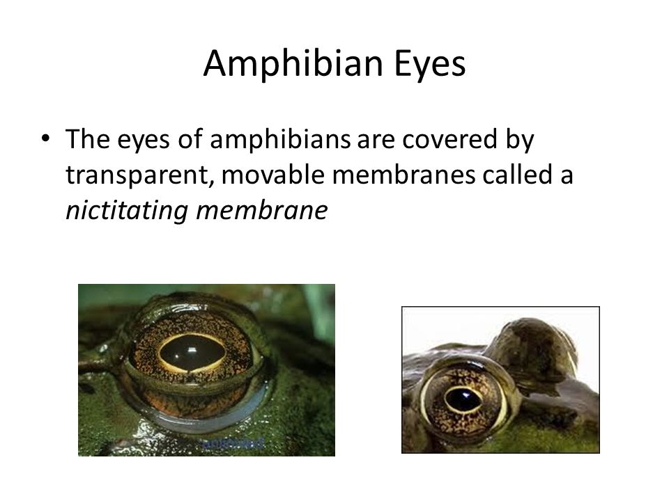 Amphibian Eyes The eyes of amphibians are covered by transparent, movable membranes called a nictitating membrane