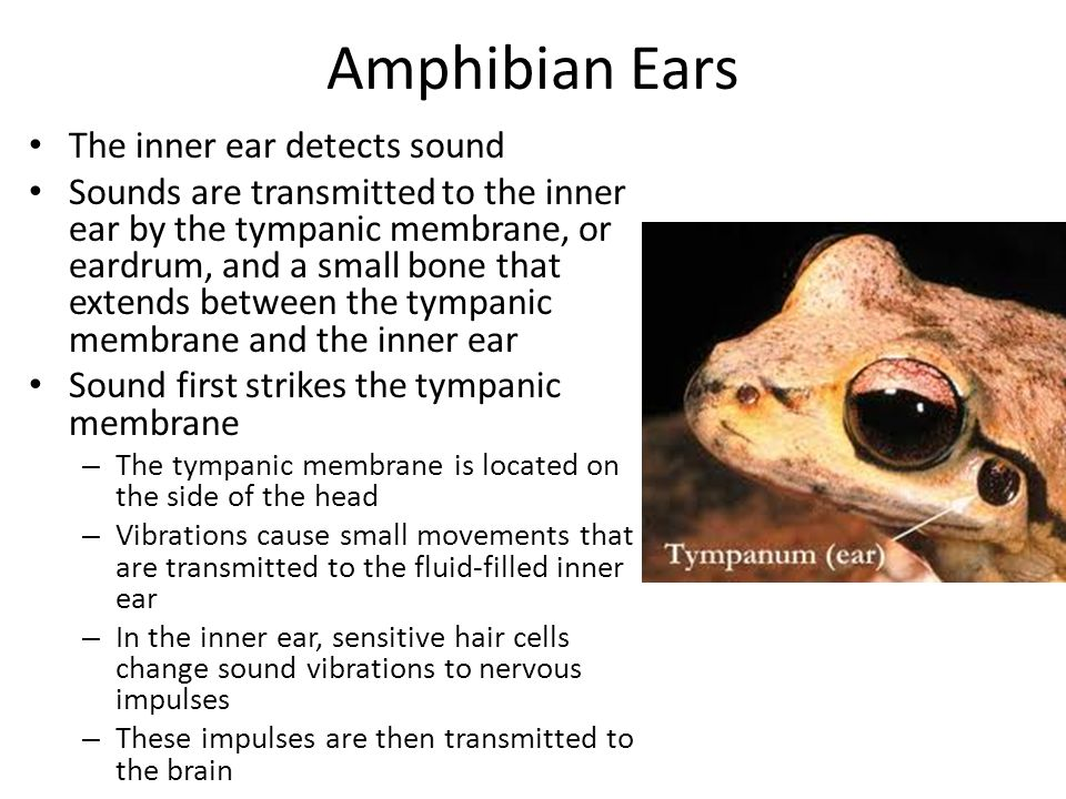 Amphibian Ears The inner ear detects sound Sounds are transmitted to the inner ear by the tympanic membrane, or eardrum, and a small bone that extends
