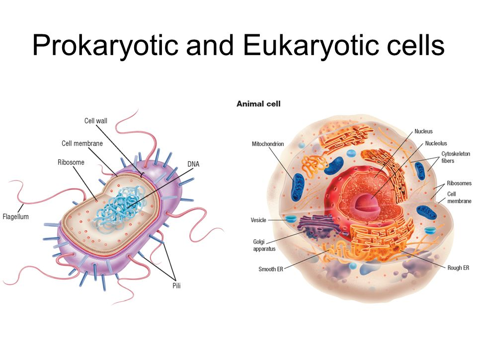 bacterial and eukaryotic cell structures A typical eukaryotic cell is 10 µ in diameter, making its volume about 1,000 times that of a bacterial cell like bacteria, eukaryotic cells contain cell membranes, cytoplasmic proteins, dna, and ribosomes, albeit of somewhat different structure from the corresponding prokaryotic elements (fig.