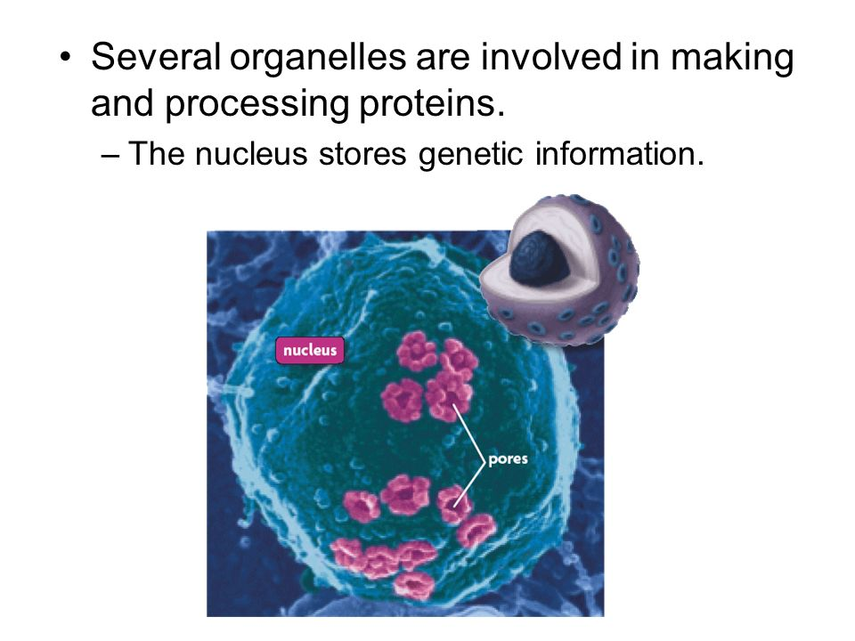 Several organelles are involved in making and processing proteins. –The nucleus stores genetic information.