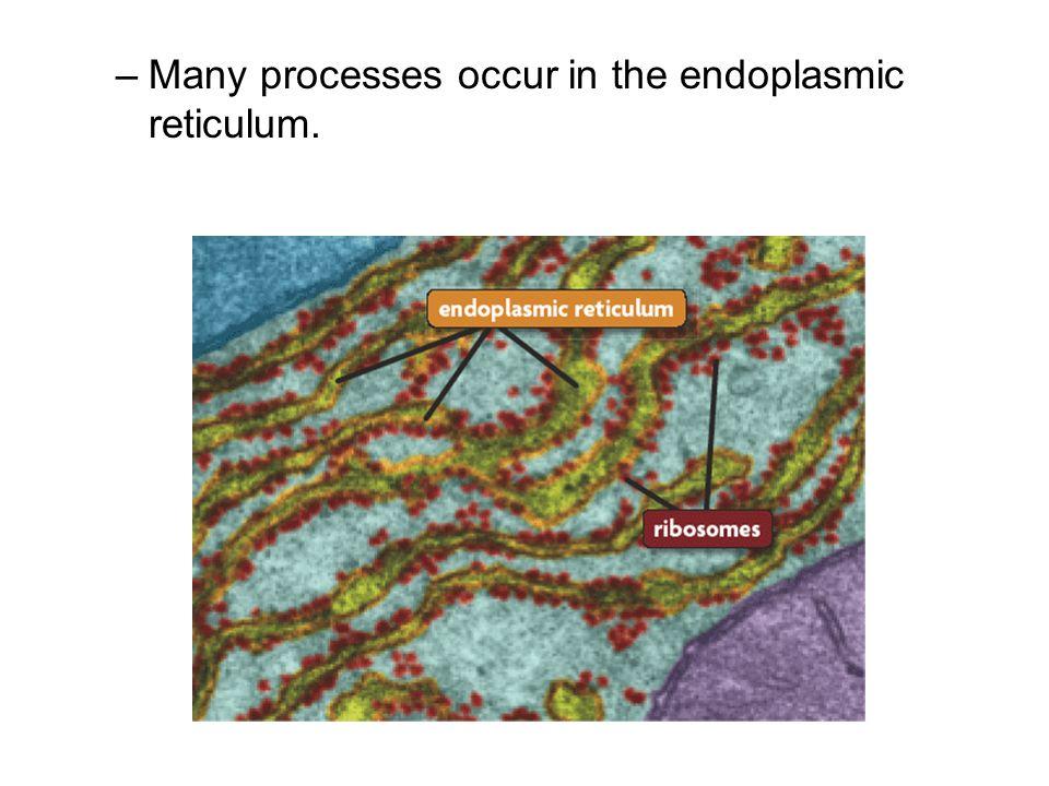–Many processes occur in the endoplasmic reticulum.