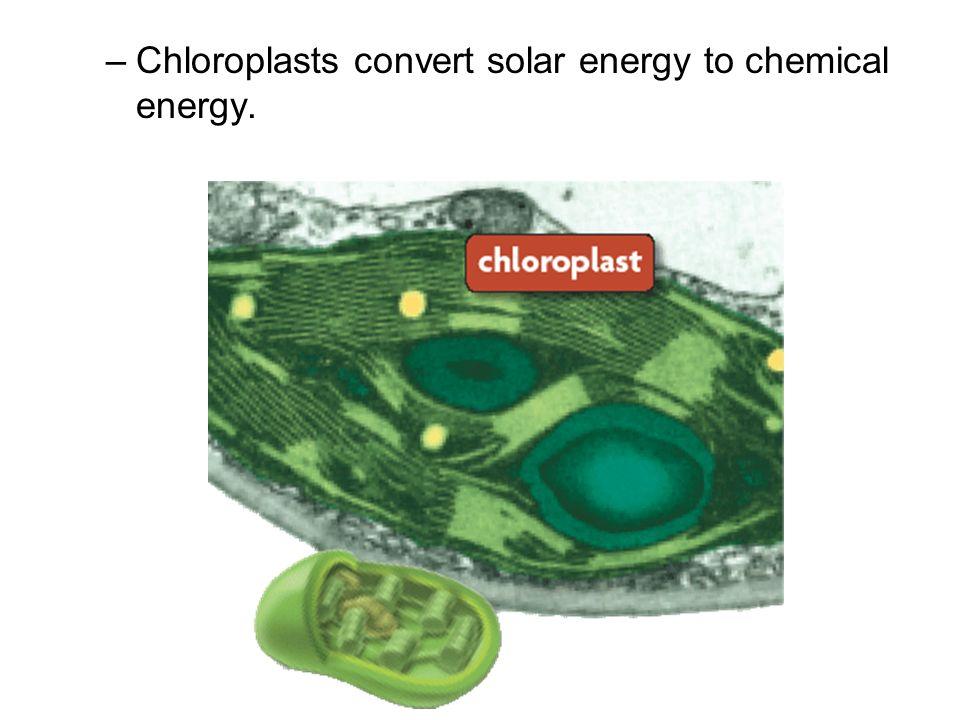 –Chloroplasts convert solar energy to chemical energy.