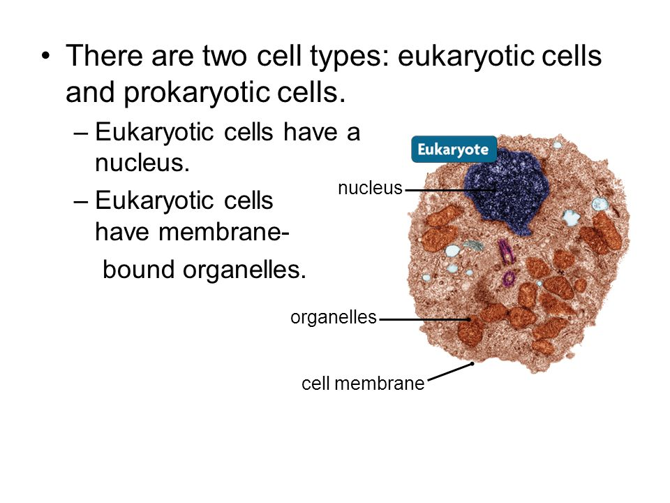 There are two cell types: eukaryotic cells and prokaryotic cells. –Eukaryotic cells have a nucleus. –Eukaryotic cells have membrane- bound organelles.