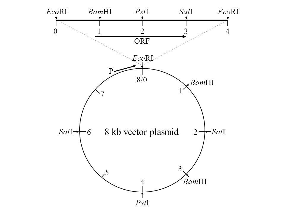8/0 1 2 3 4 5 6 7 P EcoRI BamHI SalI PstI 8 kb vector plasmid 0 1 2 3 4 EcoRI BamHI PstI SalI EcoRI ORF