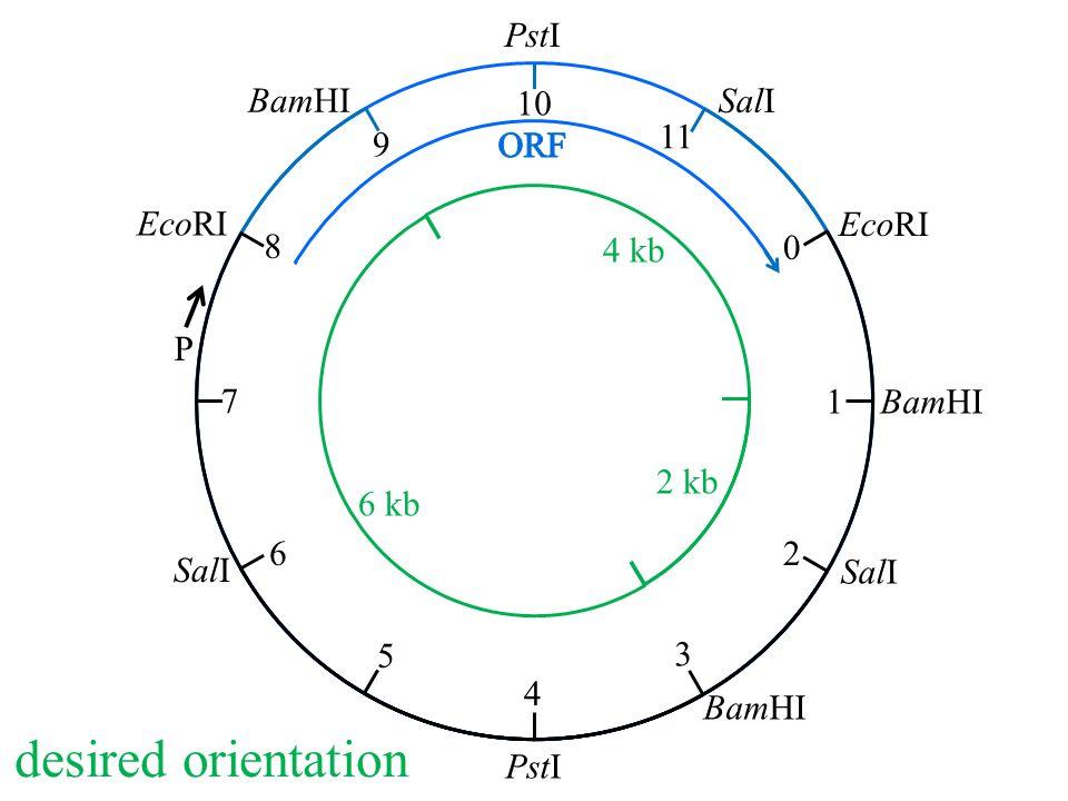 EcoRI BamHI PstI SalI 0 1 2 3 4 5 6 7 8 9 10 11 P desired orientation 2 kb 4 kb 6 kb