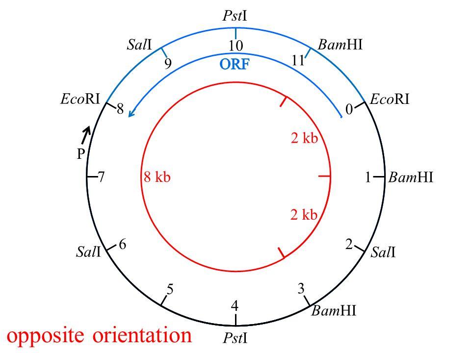 EcoRI BamHI PstI SalI 0 1 2 3 4 5 6 7 8 9 10 11 P opposite orientation 2 kb 8 kb