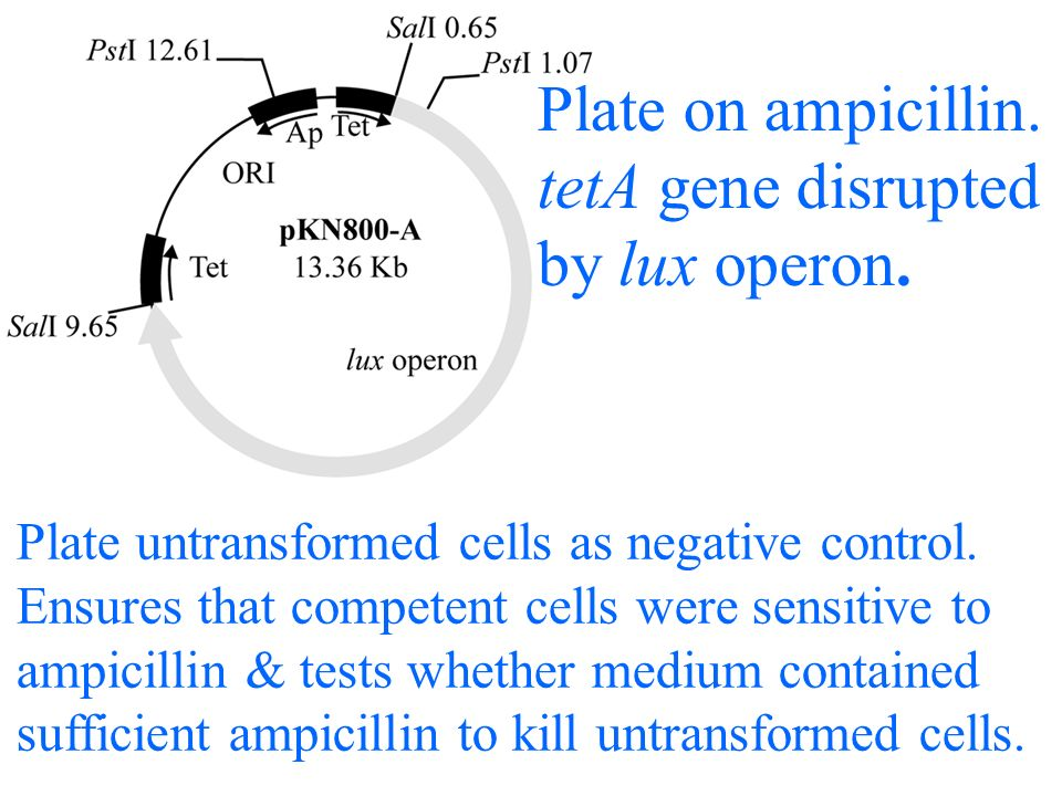 Plate on ampicillin.tetA gene disrupted by lux operon.