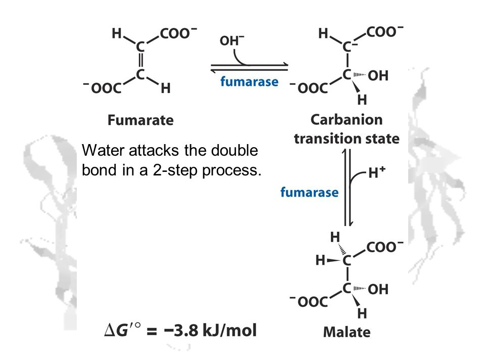Water attacks the double bond in a 2-step process.