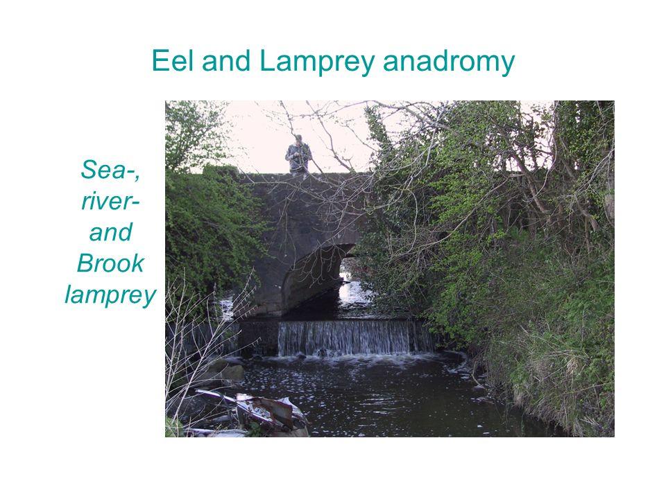 Eel and Lamprey anadromy Sea-, river- and Brook lamprey