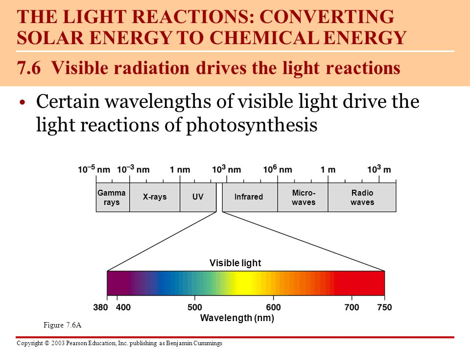 Copyright © 2003 Pearson Education, Inc. publishing as Benjamin Cummings Certain wavelengths of visible light drive the light reactions of photosynthe