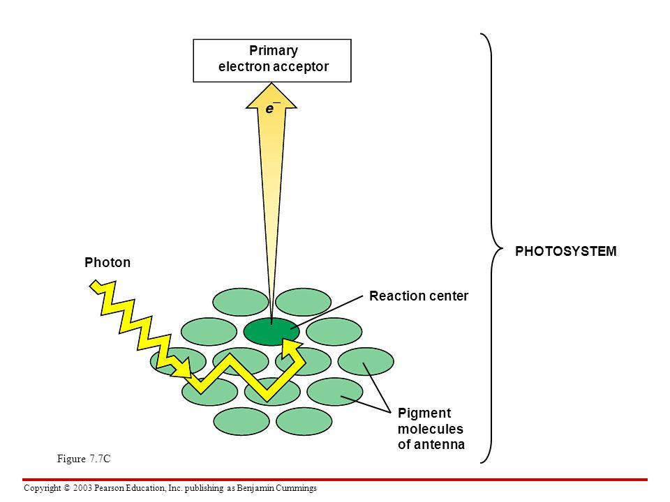 Copyright © 2003 Pearson Education, Inc. publishing as Benjamin Cummings Figure 7.7C Primary electron acceptor Photon Reaction center PHOTOSYSTEM Pigm