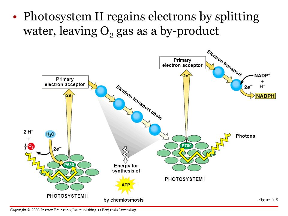 Copyright © 2003 Pearson Education, Inc. publishing as Benjamin Cummings Photosystem II regains electrons by splitting water, leaving O 2 gas as a by-