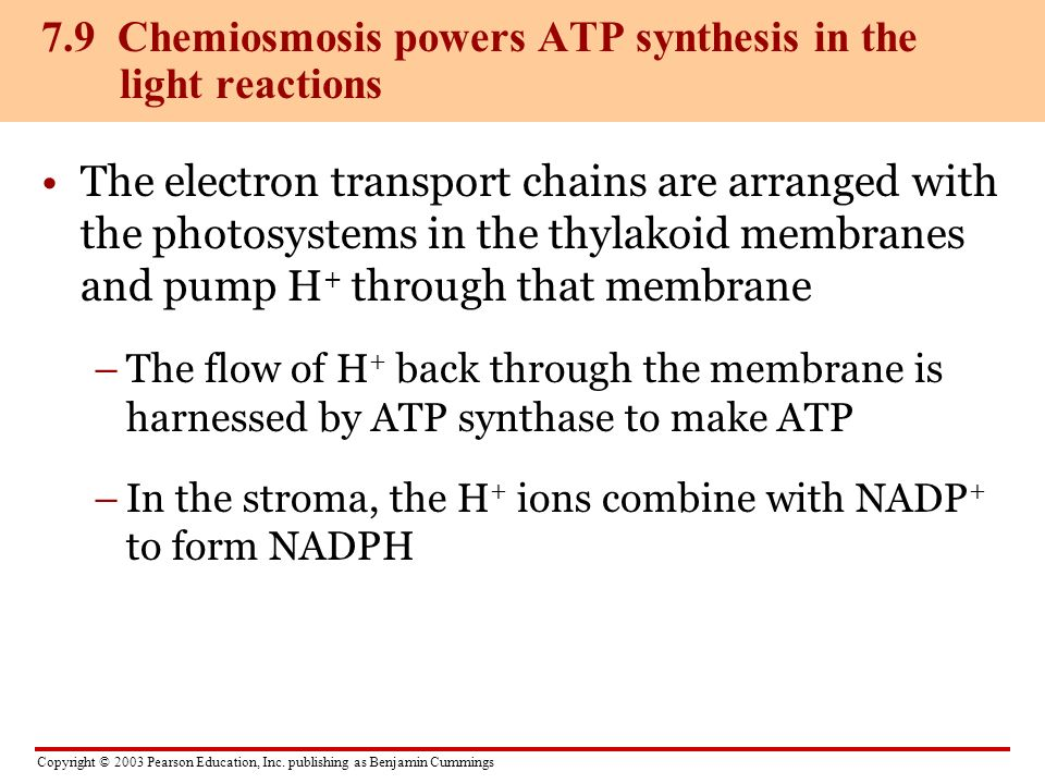 Copyright © 2003 Pearson Education, Inc. publishing as Benjamin Cummings The electron transport chains are arranged with the photosystems in the thyla