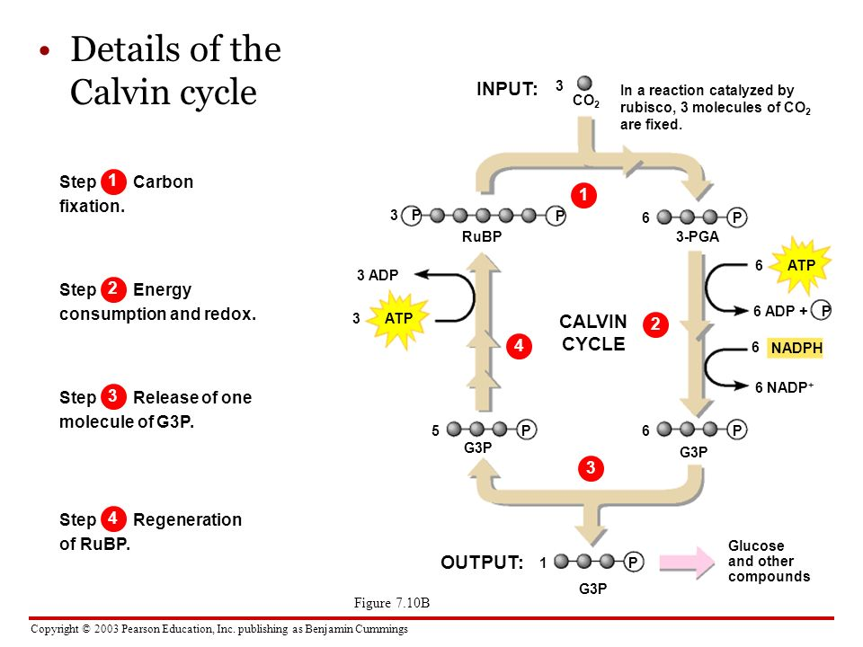 Copyright © 2003 Pearson Education, Inc. publishing as Benjamin Cummings Figure 7.10B Details of the Calvin cycle INPUT: Step Carbon fixation. In a re