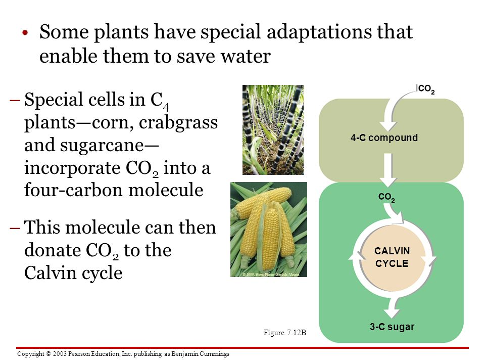 Copyright © 2003 Pearson Education, Inc. publishing as Benjamin Cummings Some plants have special adaptations that enable them to save water CALVIN CY