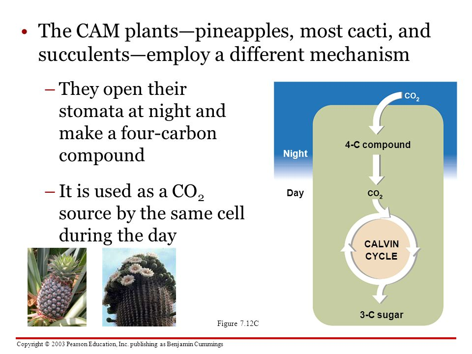 Copyright © 2003 Pearson Education, Inc. publishing as Benjamin Cummings The CAM plantspineapples, most cacti, and succulentsemploy a different mechan