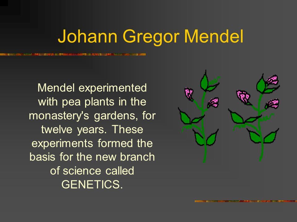 Johann Gregor Mendel Mendel experimented with pea plants in the monastery's gardens, for twelve years. These experiments formed the basis for the new