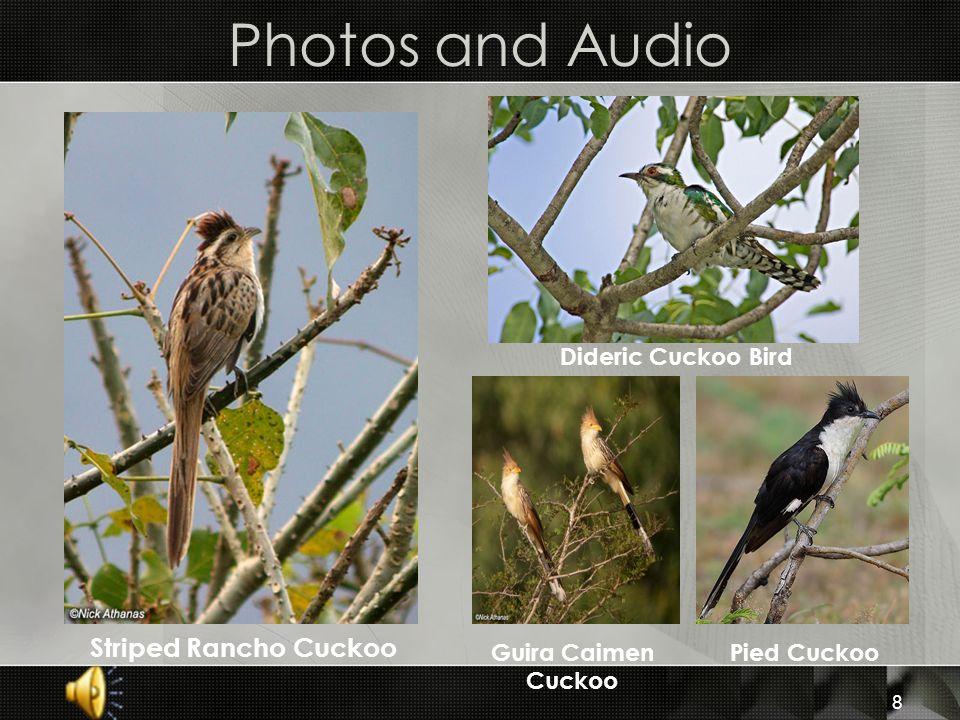 8 Photos and Audio Striped Rancho Cuckoo Guira Caimen Cuckoo Pied Cuckoo Dideric Cuckoo Bird