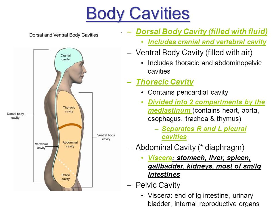 Body Cavities –Dorsal Body Cavity (filled with fluid) Includes cranial and vertebral cavity –Ventral Body Cavity (filled with air) Includes thoracic a