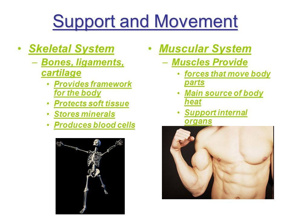 Support and Movement Skeletal System –Bones, ligaments, cartilage Provides framework for the body Protects soft tissue Stores minerals Produces blood