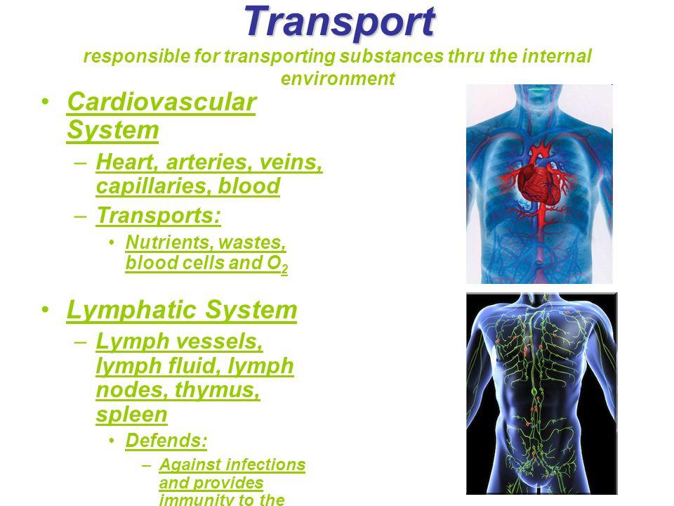 Transport Transport responsible for transporting substances thru the internal environment Cardiovascular System –Heart, arteries, veins, capillaries,
