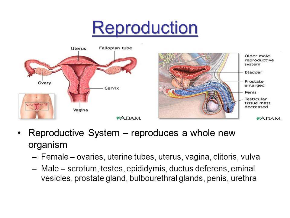 Reproduction Reproductive System – reproduces a whole new organism –Female – ovaries, uterine tubes, uterus, vagina, clitoris, vulva –Male – scrotum,