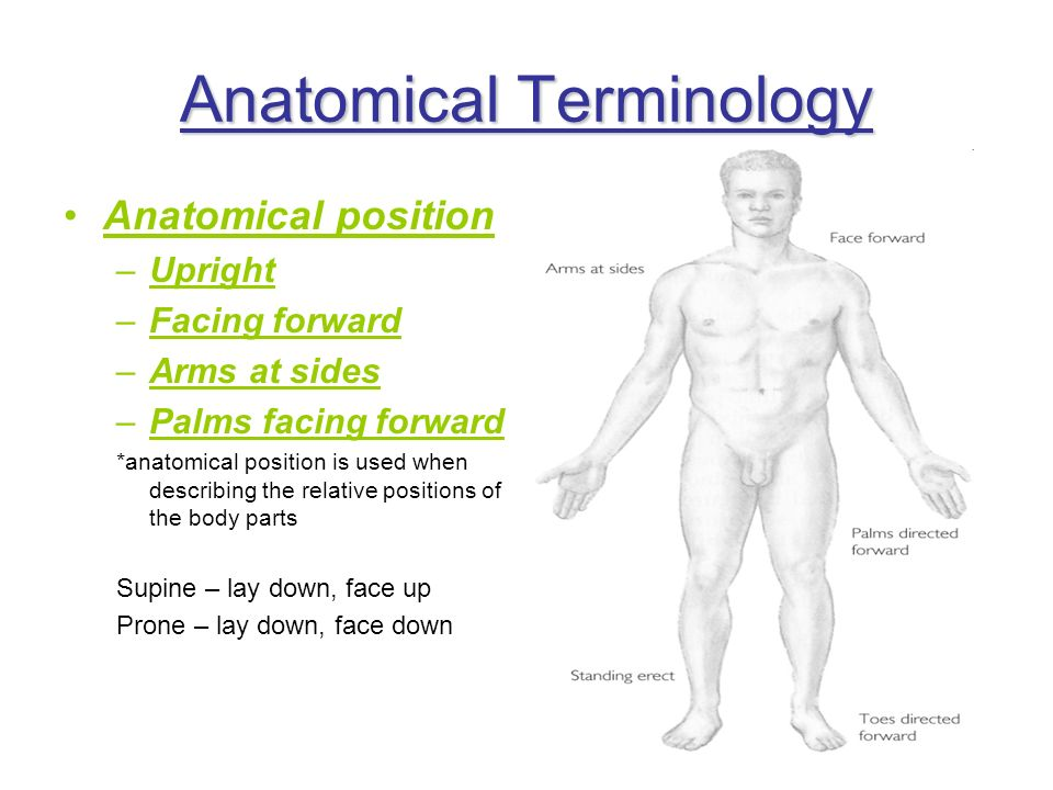 Anatomical Terminology Anatomical position –Upright –Facing forward –Arms at sides –Palms facing forward *anatomical position is used when describing