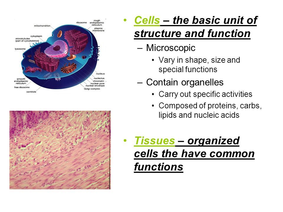 Cells – the basic unit of structure and function –Microscopic Vary in shape, size and special functions –Contain organelles Carry out specific activit