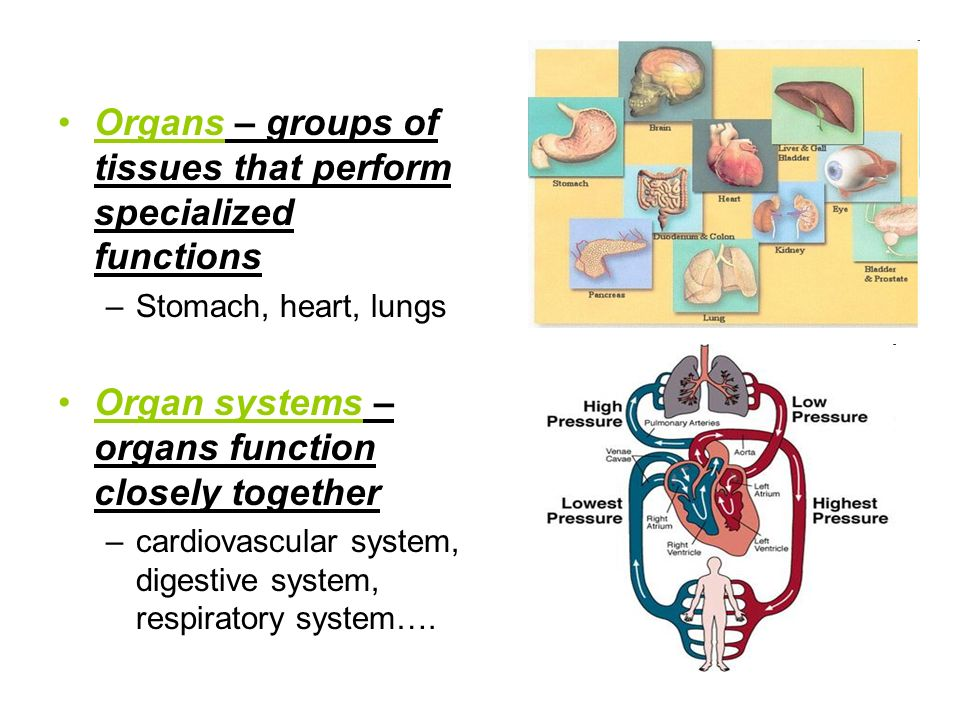 Organs – groups of tissues that perform specialized functions –Stomach, heart, lungs Organ systems – organs function closely together –cardiovascular